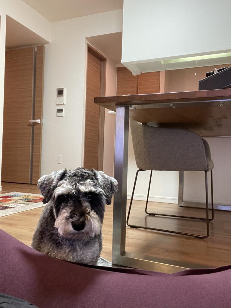 ヨギボーから移動しろと無言の圧力をかけてくる愛犬の画像